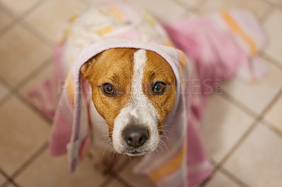Buy stock photo High angle shot of an adorable young Jack Russell sitting in the bathroom at home with a towel on his head
